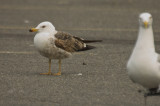 3rd year lesser black-backed gull salisbury ma