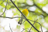 prothonotary warbler brooks estate Medford
