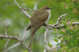 black-billed cuckoo plum island