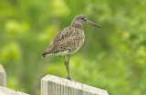eastern willet plum island