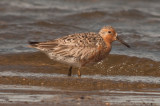 Red Knot plum island sandy point