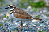 killdeer plum island