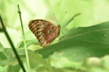 great spangled fritillary quabbin ma