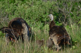 turkey family plum island