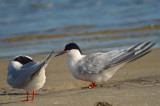 roseate terns sandy point plum island