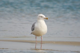 small angry looking herring gull