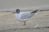 little_gulls