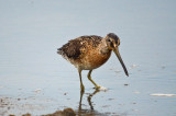 isn't short-billed dowitcher  an oxymoron - the pannes plum island