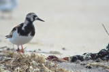 ruddy turnstone sandy point plum island