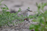 awesome camo least tern chick plum island