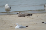 juv Lesser Black-back Gull Sandy Point PI