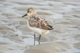 sanderling sandy point PI