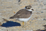 juv semipalmated plover sandy point pi.jpg