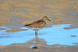 juv least sandpiper sandy point plum island