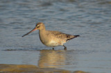 hudsonian godwit sandy point plum island