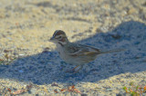lark sparrow sandy point parking lot pi