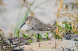 dunlin sandy point plum island