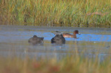 Eurasian Widgeon eclipse plumage Scurves plum island