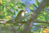 red-eyed vireo plum island