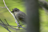 eastern phoebe marblehead thicket