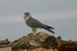 imm. peregrine sandy point plum island