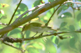 red-eye vireo plum island