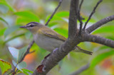 red-eye vireo sandy point plum island