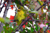 scarlet tanager plum island