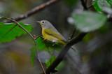 nashville warbler plum island