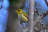 tennessee warbler plum island