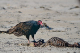 turkey vulture eating dead seal  sandy point PI