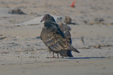 juv turkey vulture,  sandy point PI