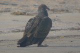 juv turkey vulture, feathers still on head sandy point PI