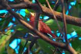 summer tanager salisbury