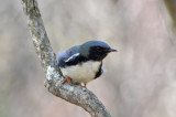 black-throated blue plum island