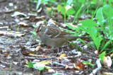 white-crowned sparrow  worlds end