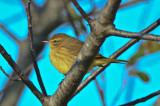 eastern palm warbler wardens pi