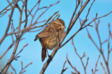 song sparrow  wardens pi