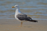 Lesser Black-backed Gull Sandy Point Plum Island