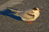 tern salisbury lot