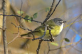 blue-headed vireo plum island