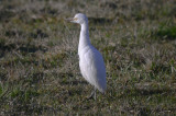 cattle egret newbury