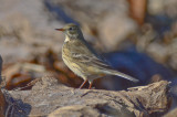 light legged American Pipit sandy point pi