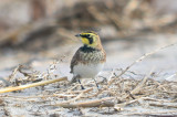 horned Lark Sandy Point Plum Island