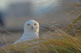 snowy owl salisbury beach