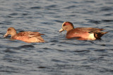 interesting american wigeon plum is.