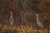 sandhill cranes pikul farm newburyport