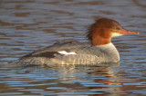 common merganser cherry hill res