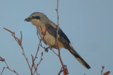 northern shrike deformed bill cherryhill res