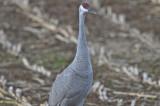 sandhill cranes pikul's farm rowley